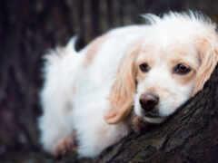 собака, грустная, картинка