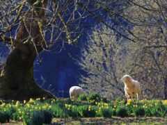 sheep, white