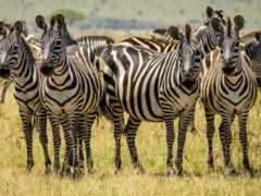 стадо, зебр, many