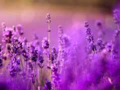 lavender, cvety, purple