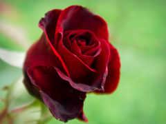 роза, бордовая, розы