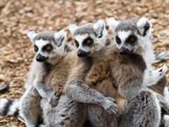 lemur, свет, трио