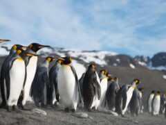 пингвин, ocean, pacific