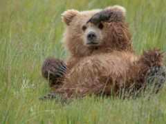 медведь, animal, grizzly