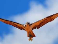 hawk, птица, membuat
