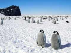 пингвины, пингвинов, снегу