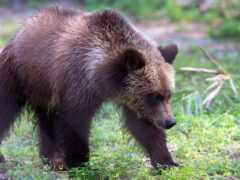 grizzly, медведь, vikipediyagrizli