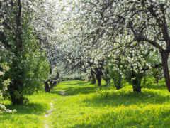 цветущий, сад, весна