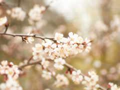 абрикос, лепестки, природа
