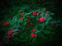 tapety, ягоды, flowers