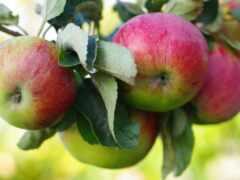 apple, yablonya