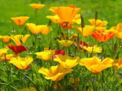 эшшольция, california, poppy