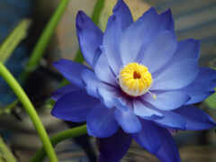 loto, красивый, lotus