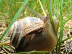 snail, makryi, high