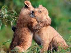 lion, funart, детёныш