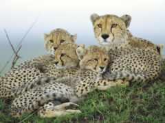 гепарды, zhivotnye, гепард