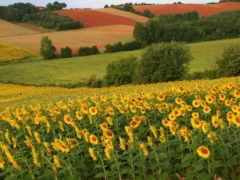 поле, подсолнухами, summer