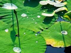 leaf, lotus, summer