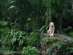 тигр, white, zhivotnye