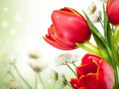 тюльпан, mariposa, картинка
