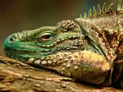 ящер, свет, chameleon