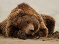 медведь, медведи, sleeping