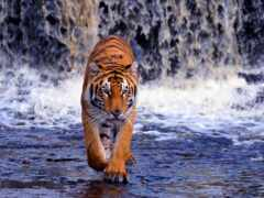тигр, водопад, фон
