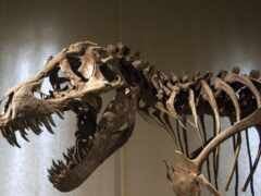 динозавр, фоссил, rex