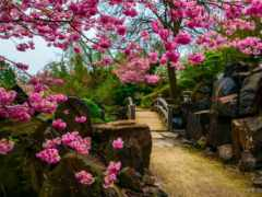 garden, Сакура, красивый
