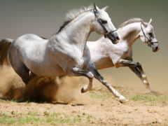лошадь, пыль, бег