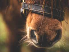 лошадь, modelos, порода