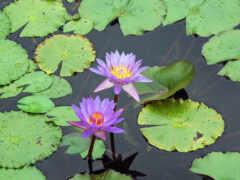 conocimiento, lily, pad