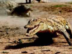 крокодил, крокодилы, бежит