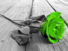 роза, gül, зелёный