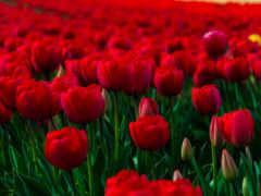 поле, тюльпани, тюльпаны