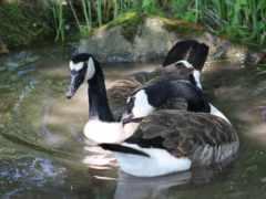 гуси, swim, птицы