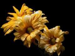 flore, fondo, amarilla