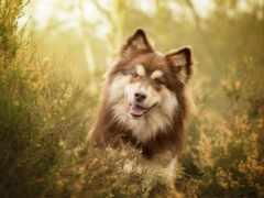 трава, лаппхунд, hund