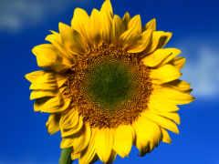цветы, солнечный, cvety