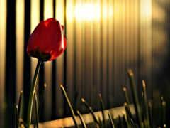 цветы, природа, тюльпан