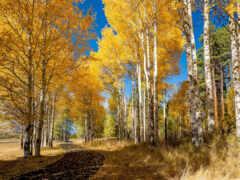 осень, береза, природа