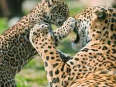 jaguar, красивый, animal