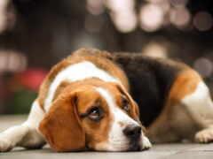 biglit, собака, порода