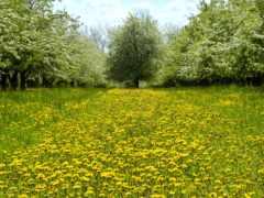 одуванчики, весна, поляна