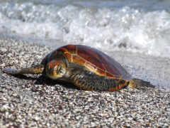 следы, черепахи, морская