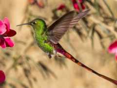 колибри, порхает, цветком