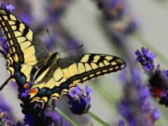 бабочка, footage, lavender