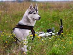 велосипед, цветы, маламут