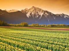 тюльпаны, поле, красивые