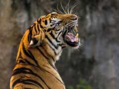 тигрица, zoo, сотрудница